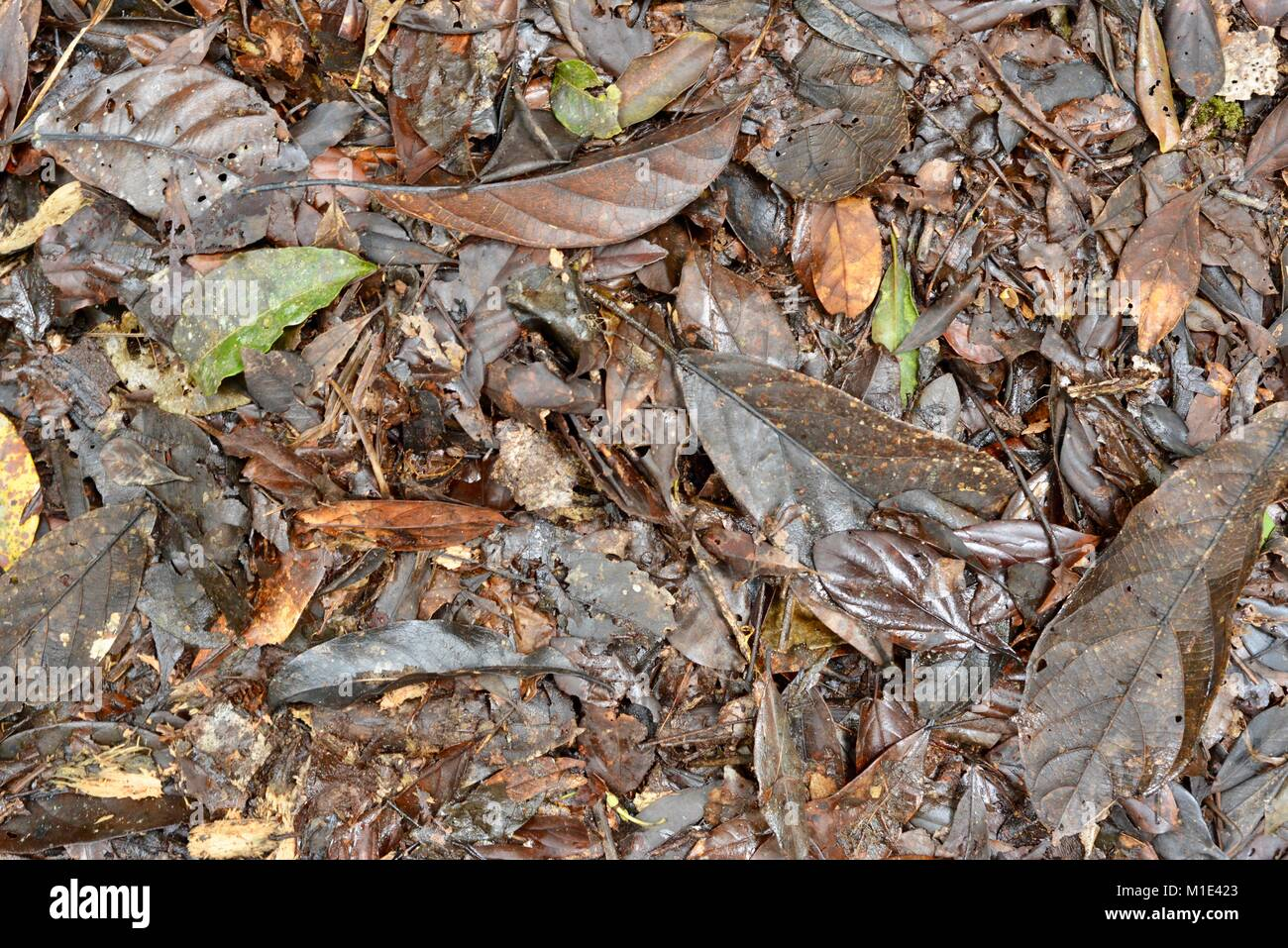 Forest floor in a tropical rainforest sowing leaf litter and decaying organic matter, Paluma range national park, - Stock Image