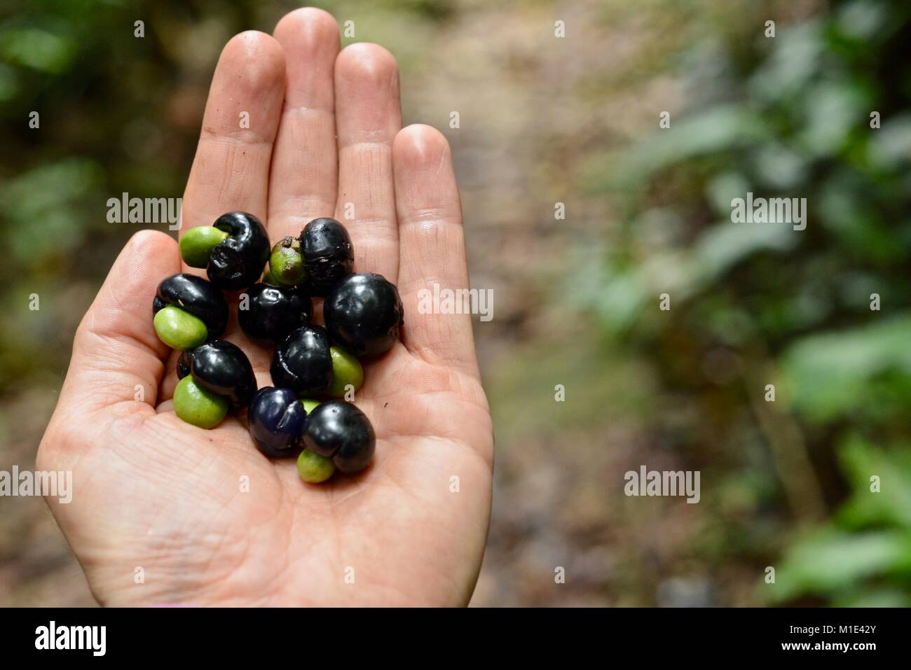 Black rainforest berries found on the forest floor in a man's hand, Paluma, Queensland, Australia - Stock Image