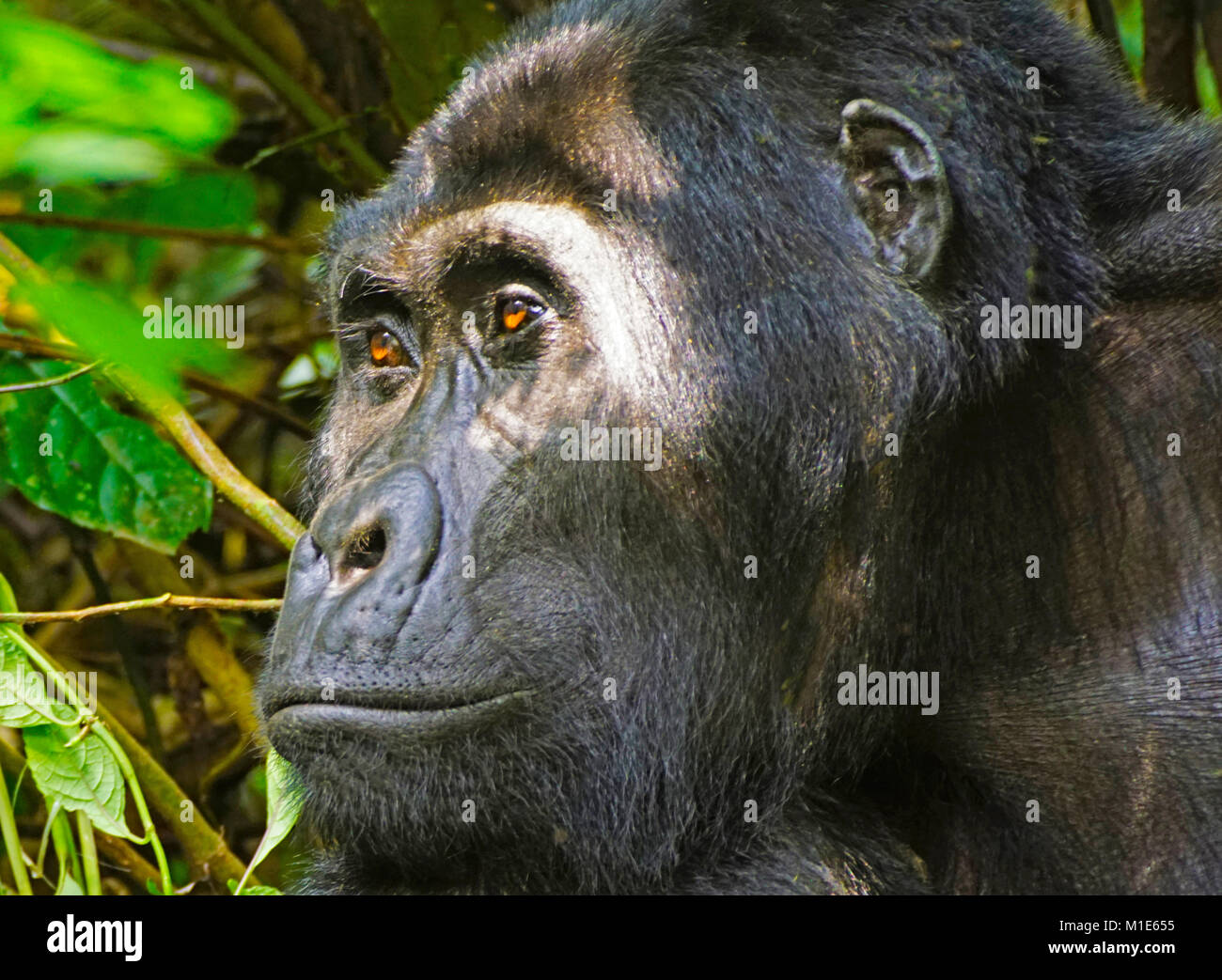 Silverback mountain gorilla in Bwindi Impenerable National Park, Uganda. - Stock Image