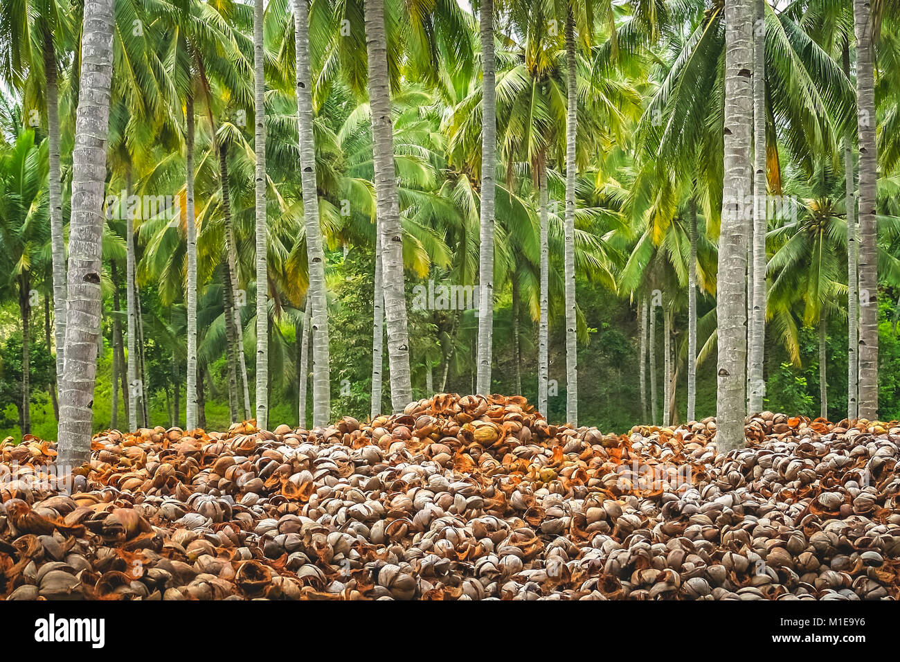 Pile of empty coconut shells under tall palmtrees in the jungle of tropical indonesian island Sumbava, Indonesia, - Stock Image