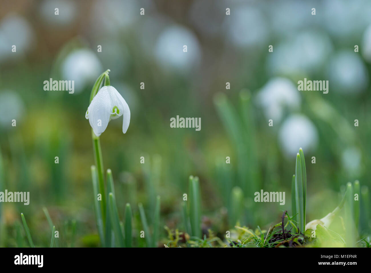 Snowdrop flowers growing wild in Wales. - Stock Image