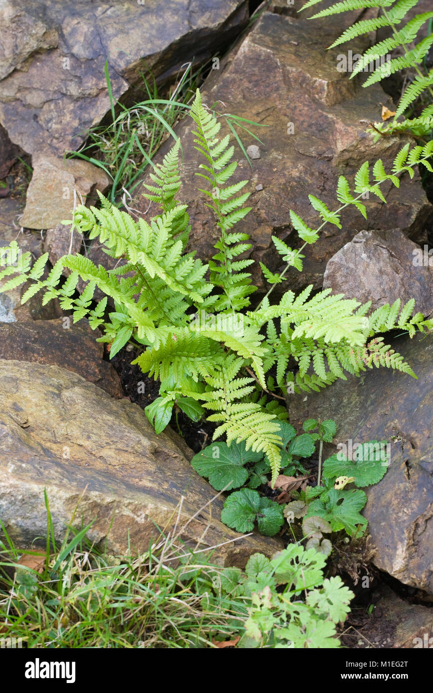 Matteuccia struthiopteris. Ostrich fern self seeded amongst rocks in the garden. - Stock Image