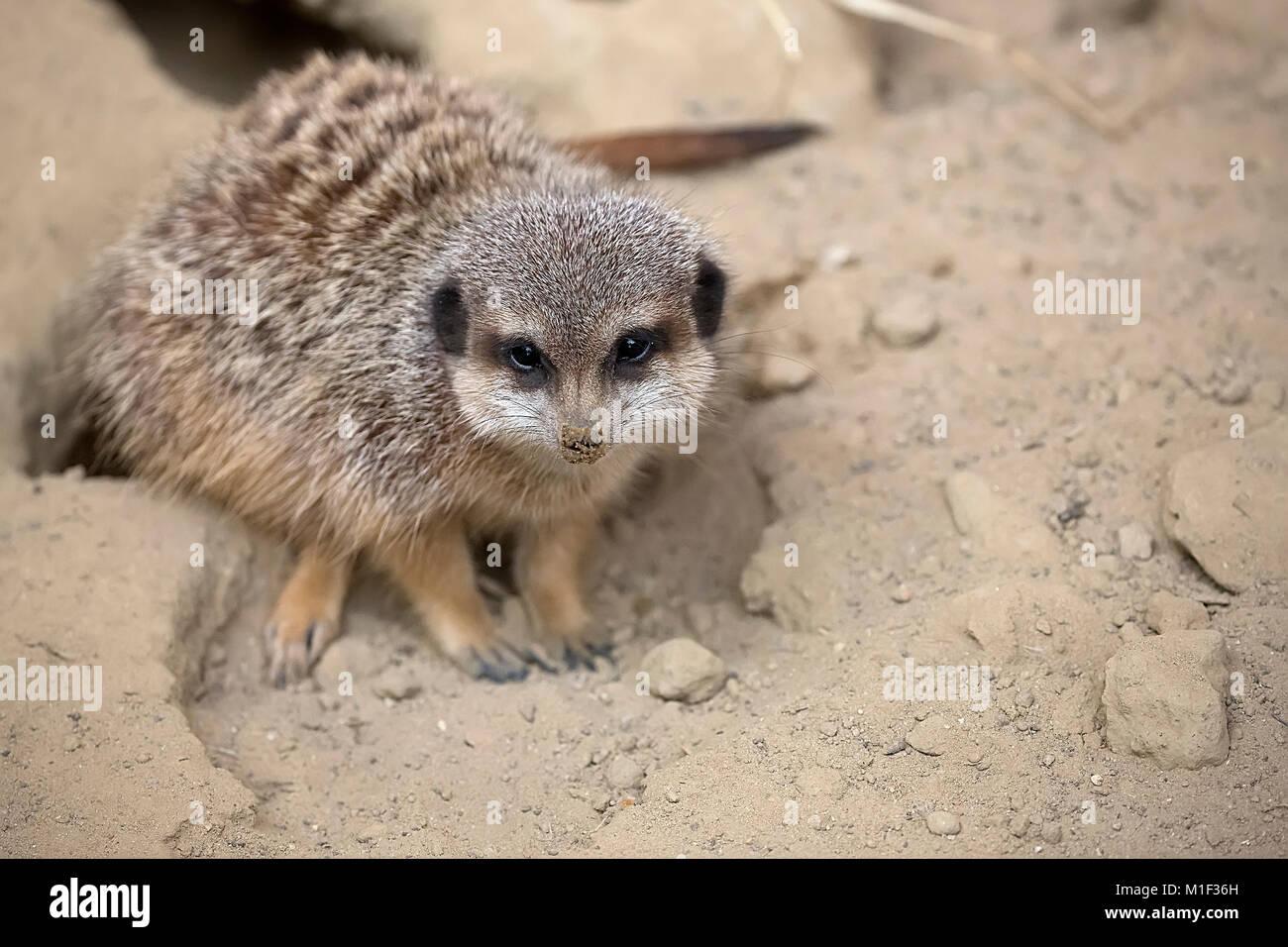 Meerkat in the wild - Stock Image
