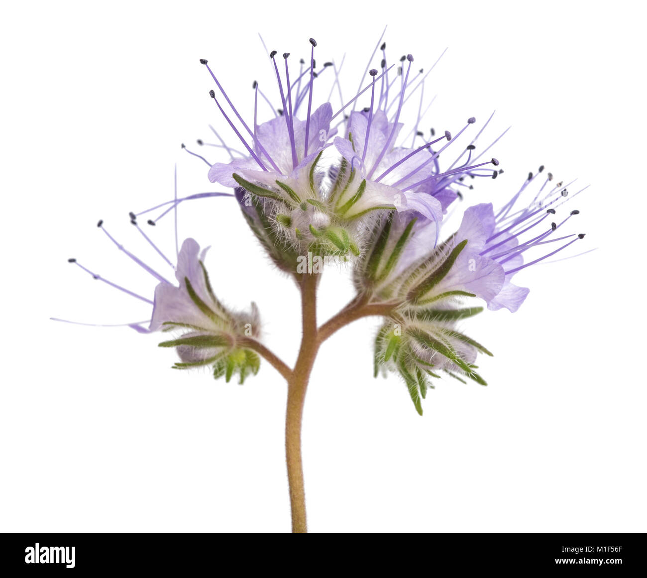 lacy phacelia, blue tansy or purple tansy isolated on white background - Stock Image