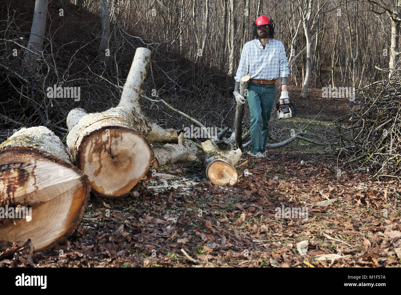 Lumberjack using chainsaw cutting big tree during the autumn wearing hardhat and headphones - Stock Image
