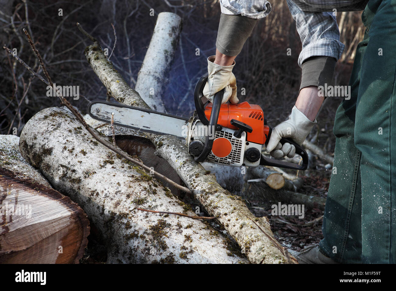 Lumberjack using chainsaw cutting big tree during the autumn close up - Stock Image