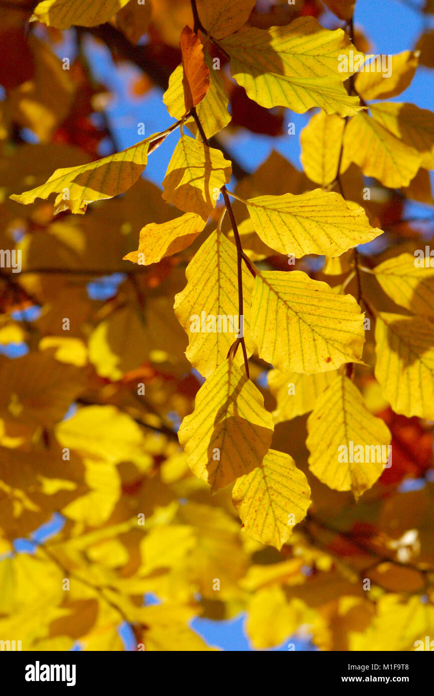 Autumn leaves against a blue sky - Stock Image