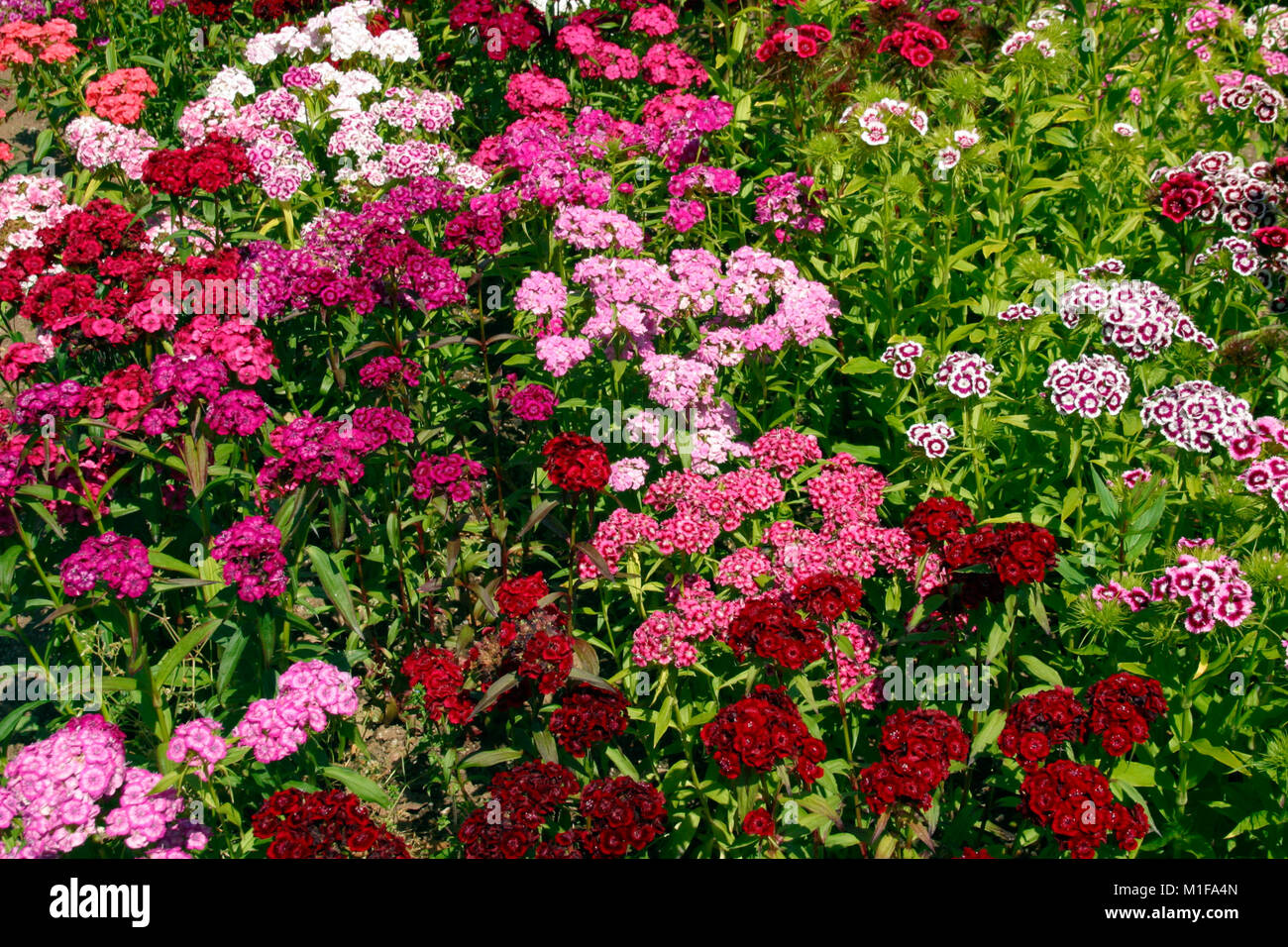 Full frame close up of profuse Dianthus (Sweet William) flowers in a garden flowerbed - Stock Image