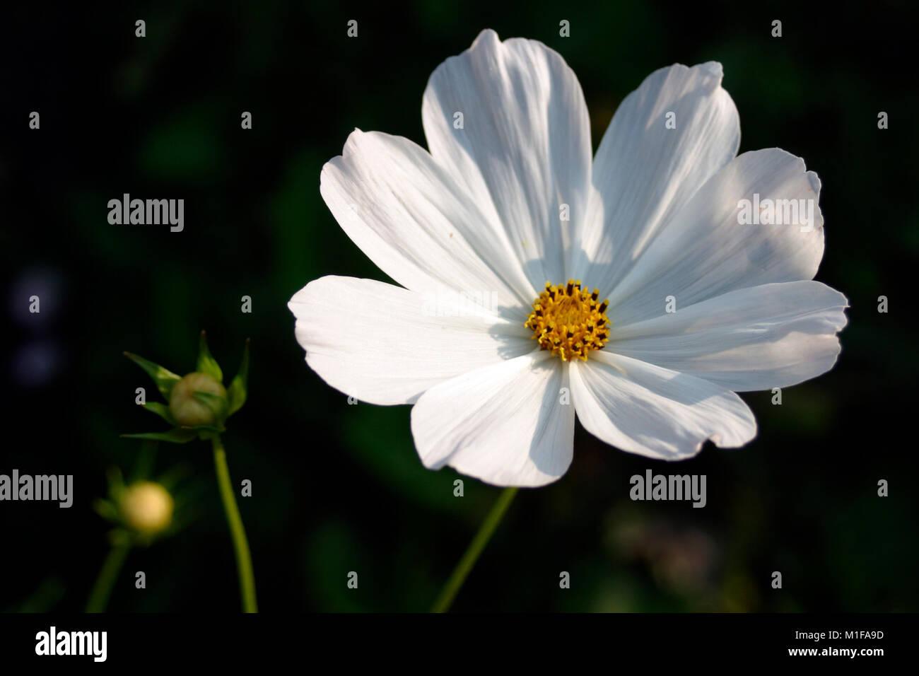 A Single White Cosmos Flower In A Garden Border Stock Photo