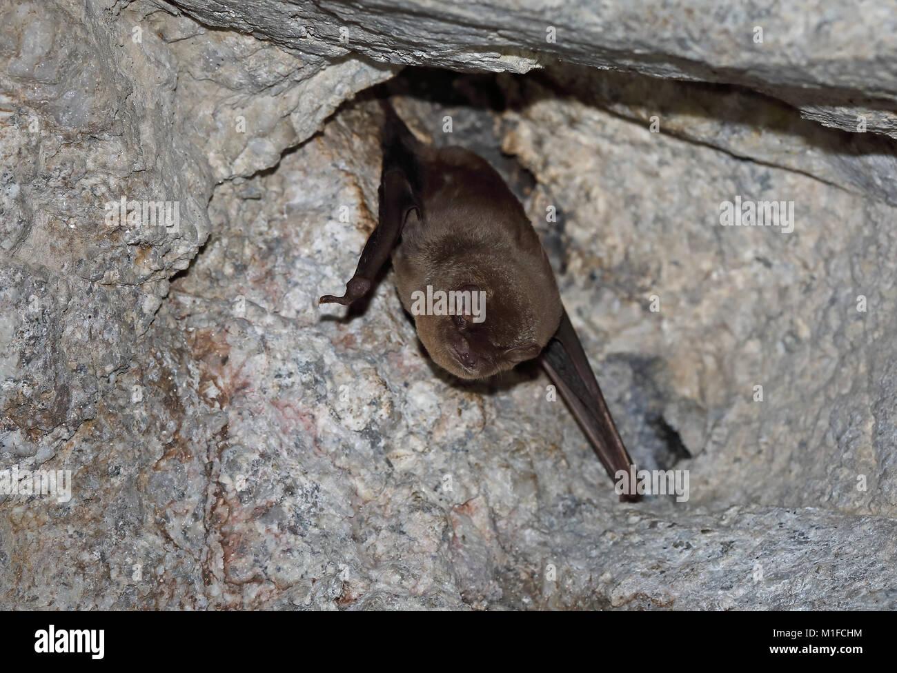 Common Bent-winged Bat (Miniopterus schreibersii) adult hibernating on tunnel roof  Parque Natural Sierra de Andujar, - Stock Image