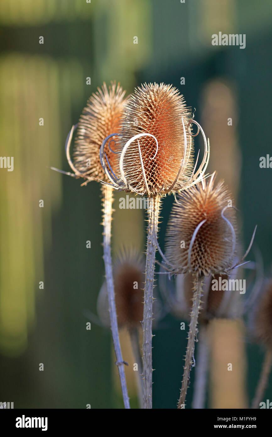 Teasel heads, Dipsacus fullonum, wild teasel or fuller's teasel, England, UK. - Stock Image