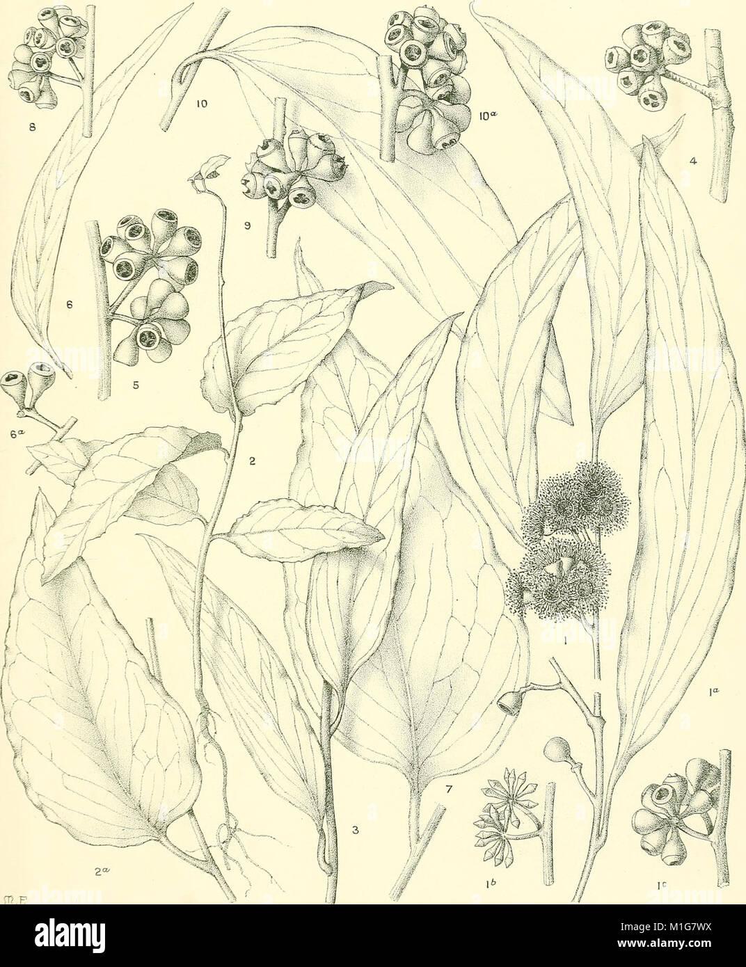 A critical revision of the genus Eucalyptus (1903) (20088927024) - Eucalyptus regnans - Stock Image