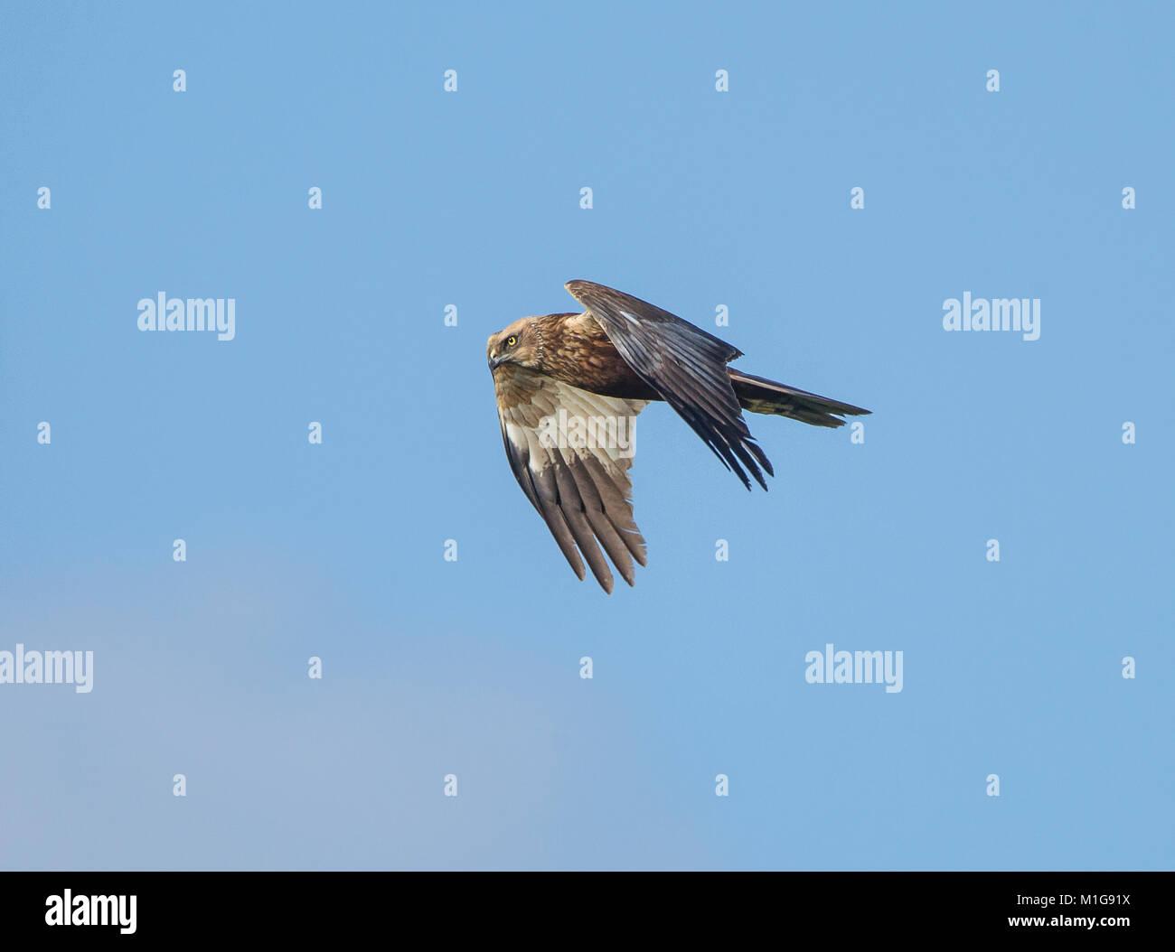 Marsh harrier Circus aeruginosus in flight also preening Stock Photo
