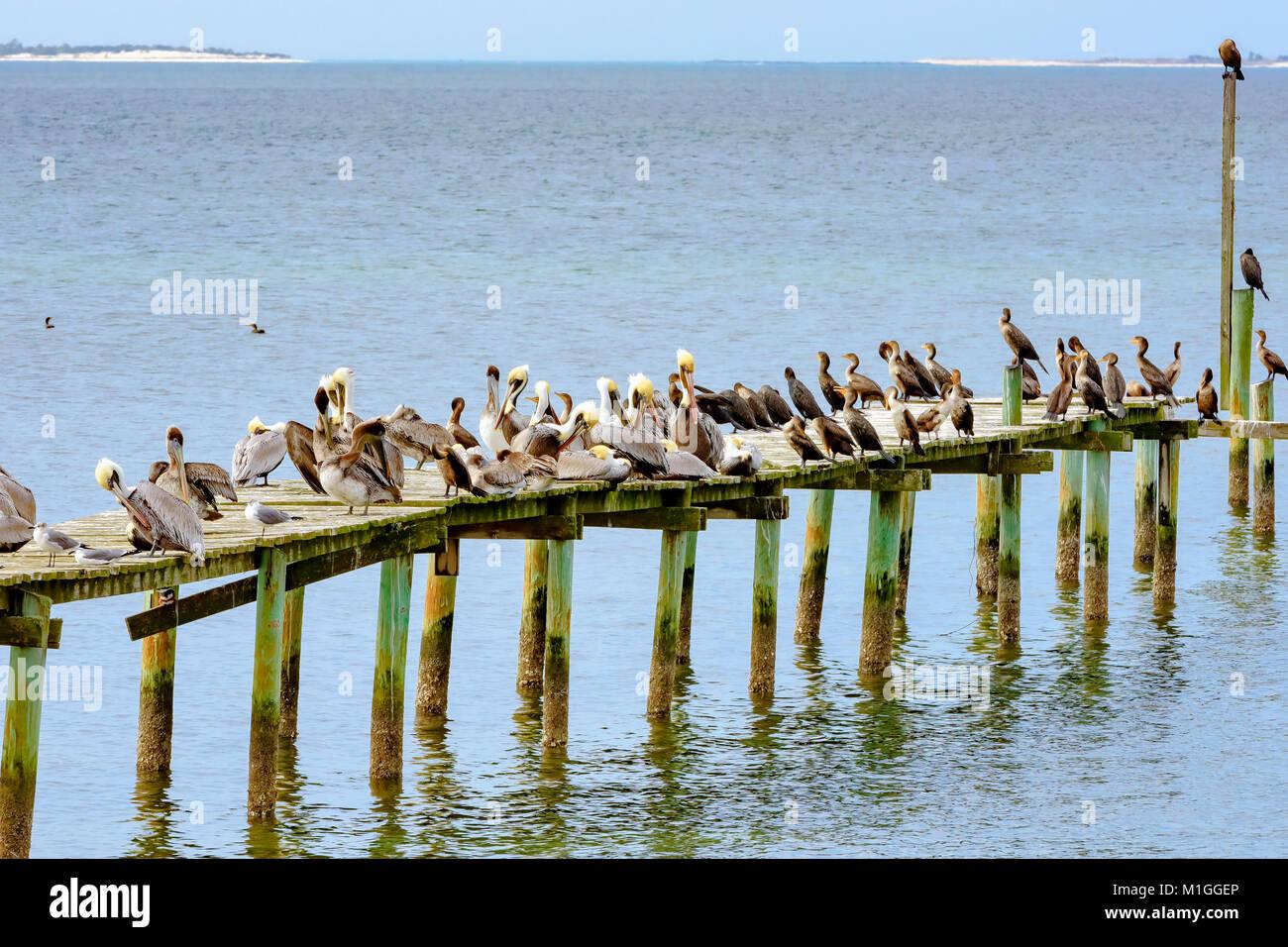 Pelicans Panama City Beach