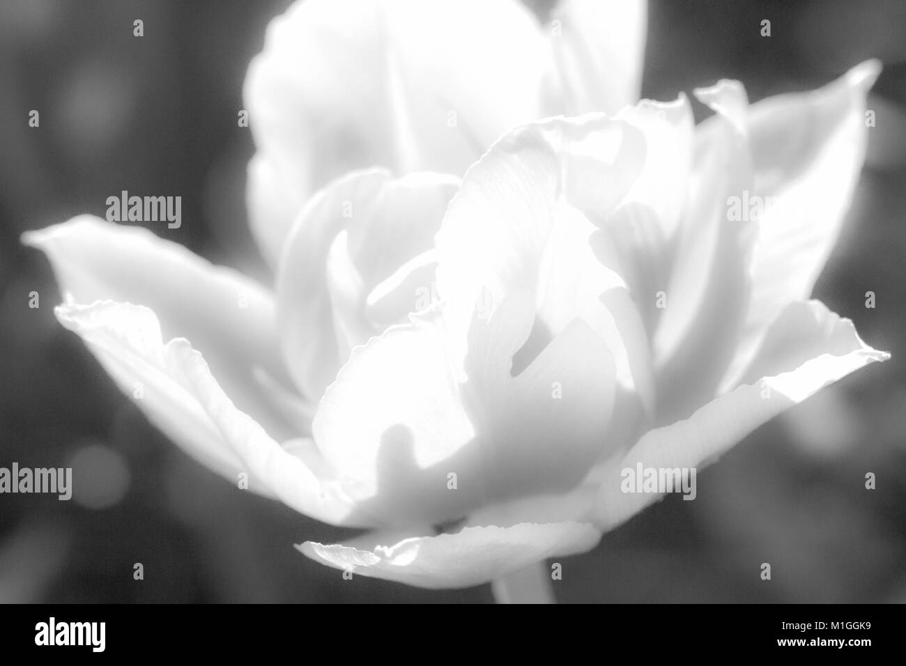 Gentle soft magic peony. Close-up macro.  Black and white image. Light air delicate artistic image . - Stock Image