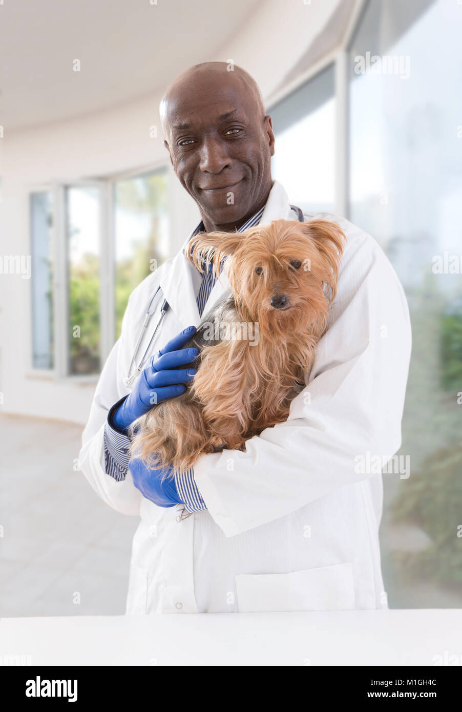 portrait of a happy veterinarian and Yorkshire terrier in luxery pet hospital background - Stock Image