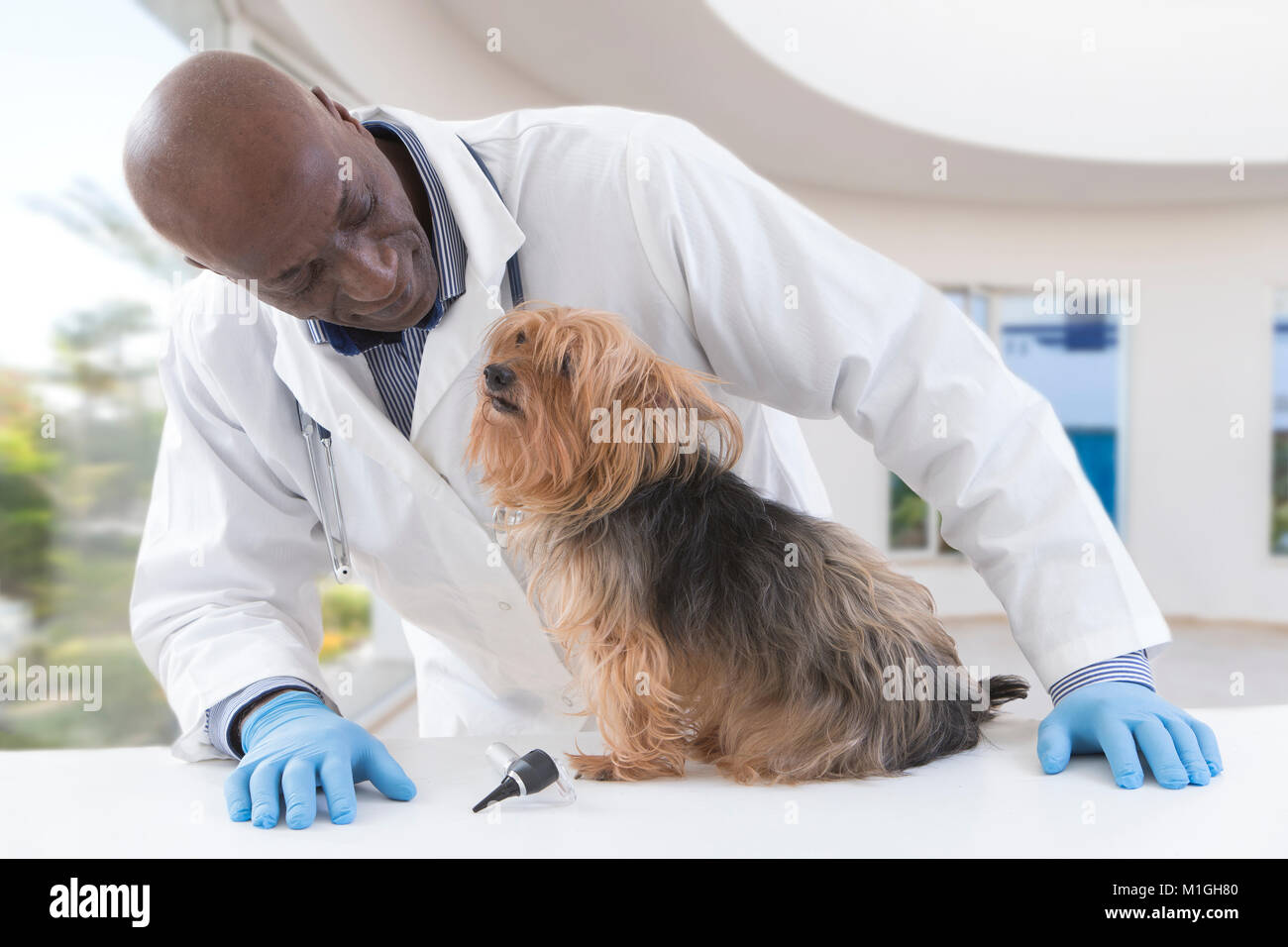 portrait of a happy veterinarian examining Yorkshire terrier on table of luxery pet hospital background - Stock Image