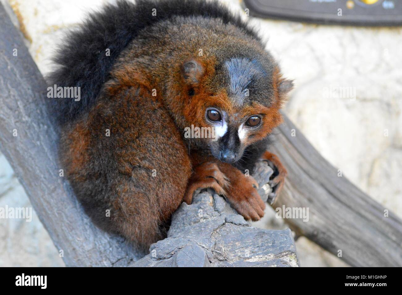 Red Bellied Lemur - Stock Image