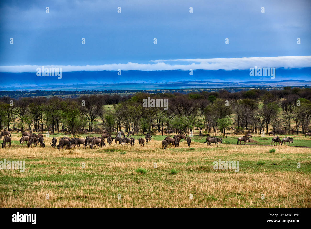 cloud formations at Great Rift Valley, landscape in Serengeti National Park with blue wilderbeests, UNESCO world - Stock Image