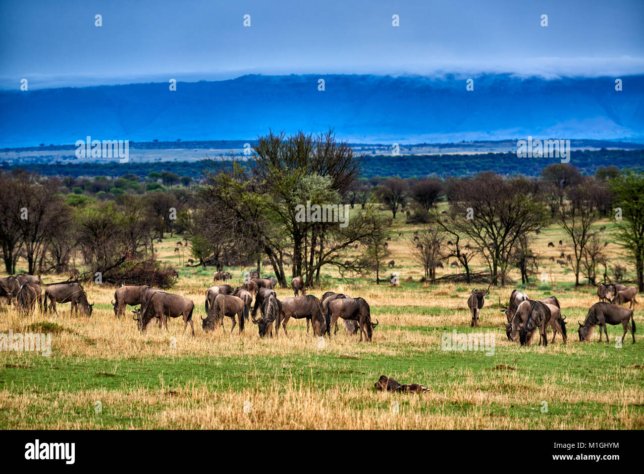 cloud formations at Great Rift Valley, landscape in Serengeti National Park with blue wilderbeests, UNESCO world Stock Photo