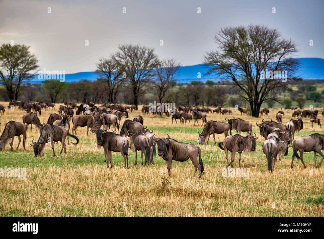 landscape in Serengeti National Park with blue wilderbeests, UNESCO world heritage site, Tanzania, Africa - Stock Image