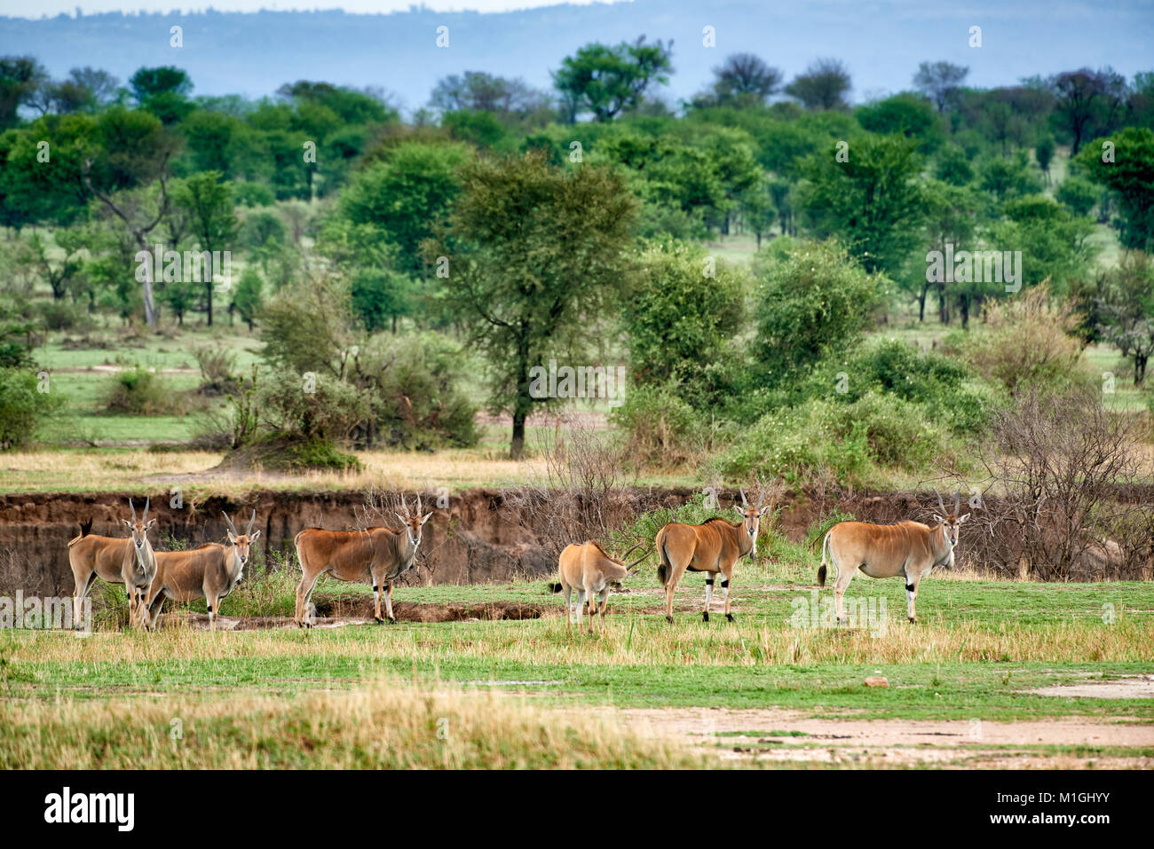 Common eland antelopes in landscape of Serengeti National Park, UNESCO world heritage site, Tanzania, Africa Stock Photo