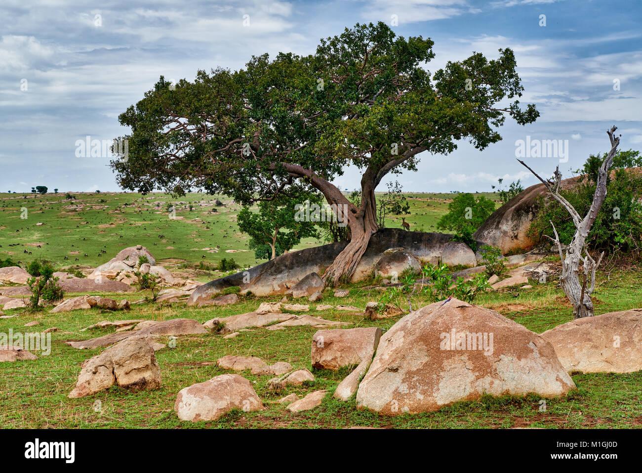 landscape of Serengeti National Park, UNESCO world heritage site, Tanzania, Africa - Stock Image