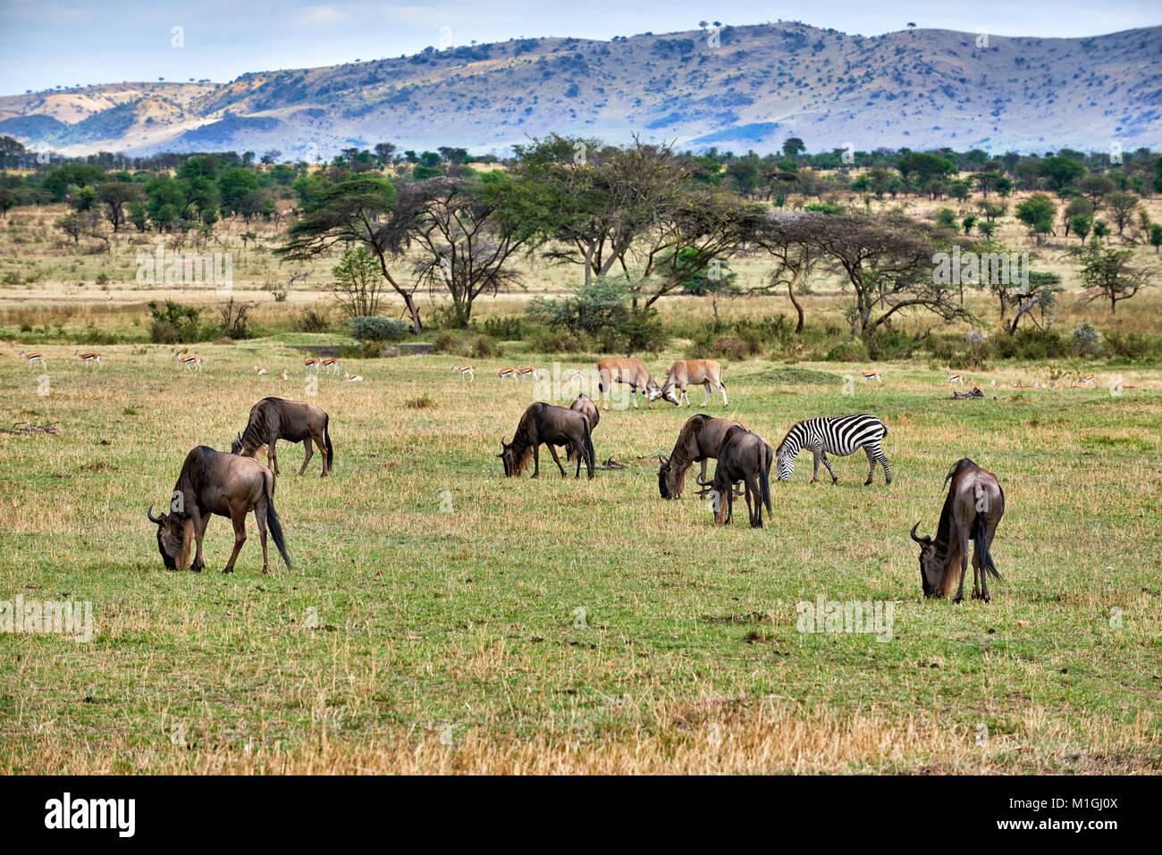 mixed anteloped in landscape of Serengeti National Park, UNESCO world heritage site, Tanzania, Africa - Stock Image