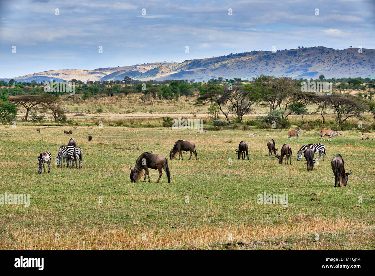 mixed anteloped in landscape of Serengeti National Park, UNESCO world heritage site, Tanzania, Africa Stock Photo