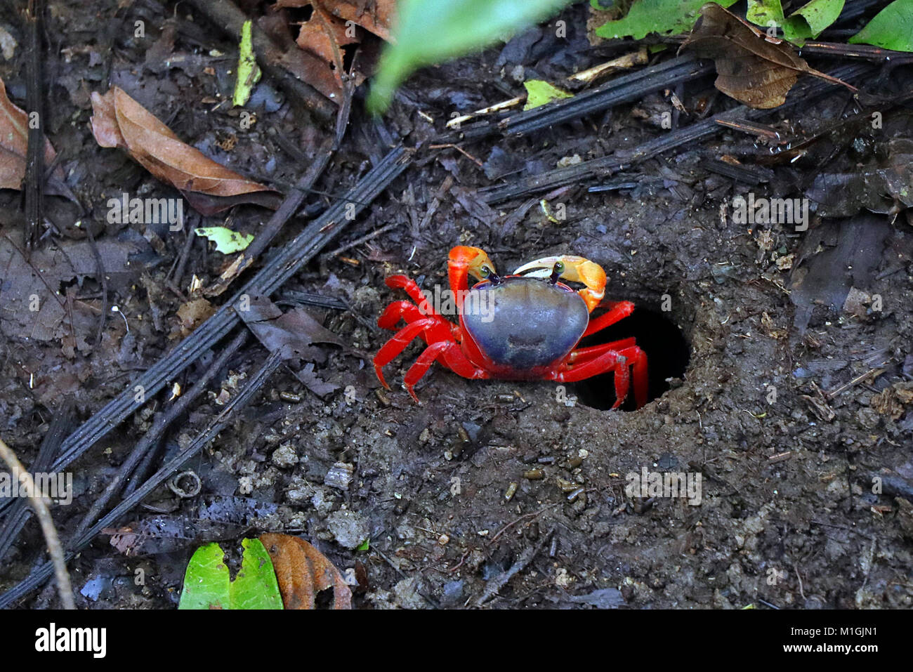 A Pacific Red Land Crab (Gecarcinus quadratus) emerging from a hole in the rainforest floor in the Manuel Antonio Stock Photo