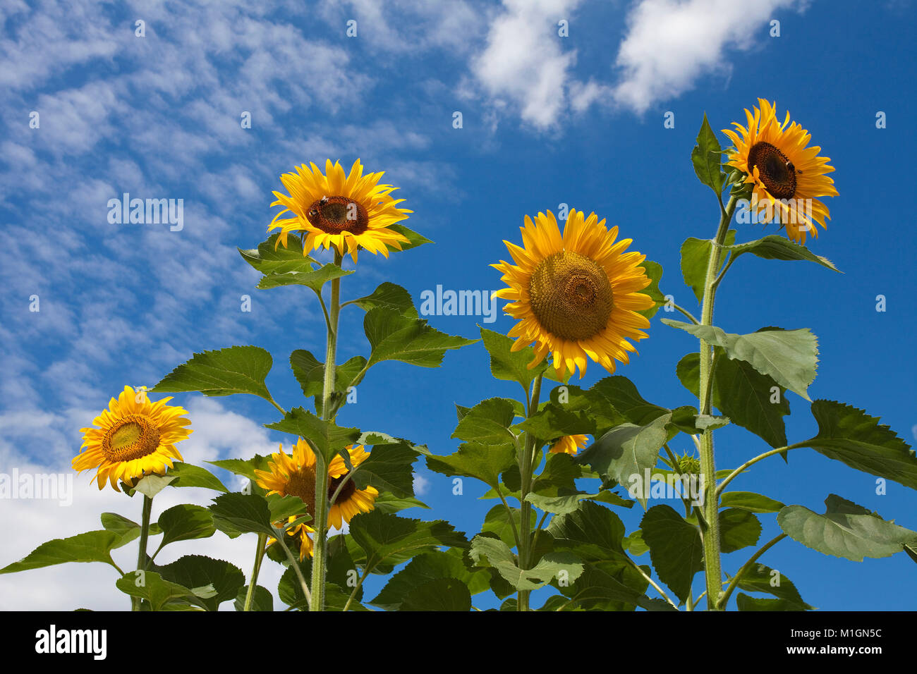 Sunflowers (Helianthus annuus) at Moselle village Schweich, Moselle river, Rhineland-Palatinate, Germany, Europe Stock Photo