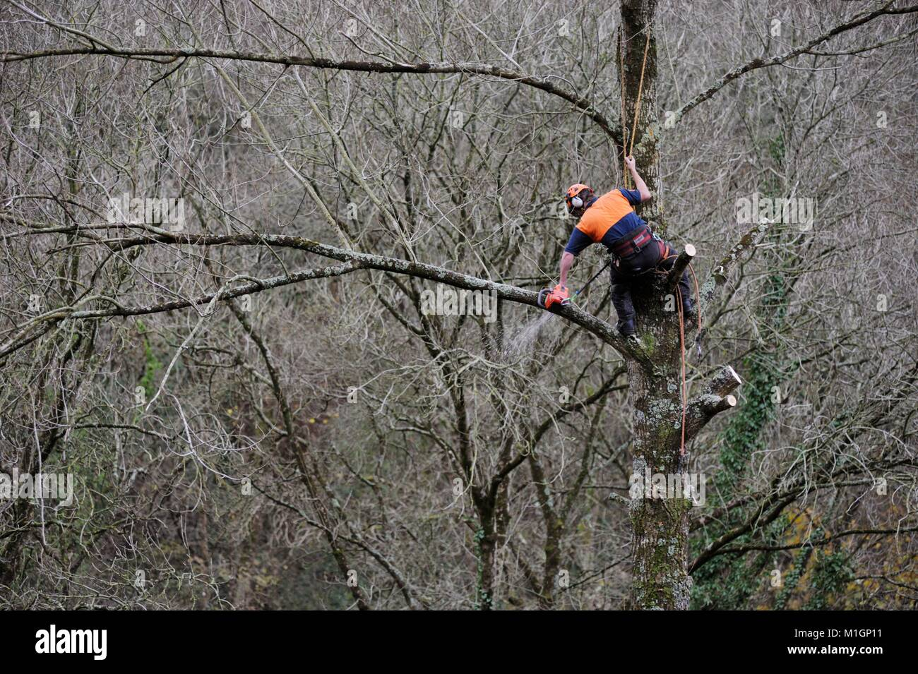 Man working in protective safety clothing, climbing a tree and performing aerial chainsaw work, delimbing, pruning, Stock Photo