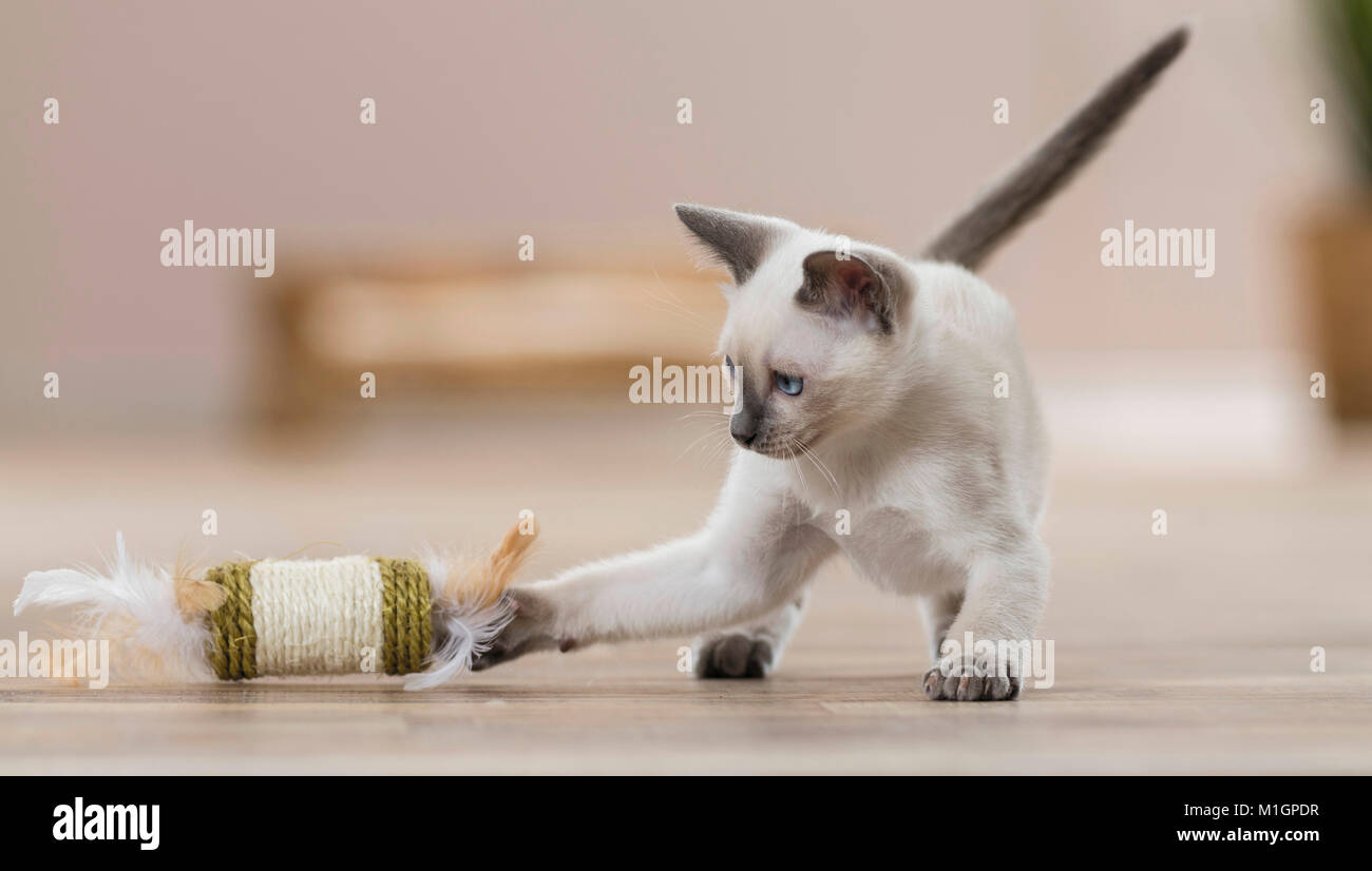 Siamese Cat. Kitten playing in a living room with a toy. Germany. Restriction: Not for guide books for pet care - Stock Image
