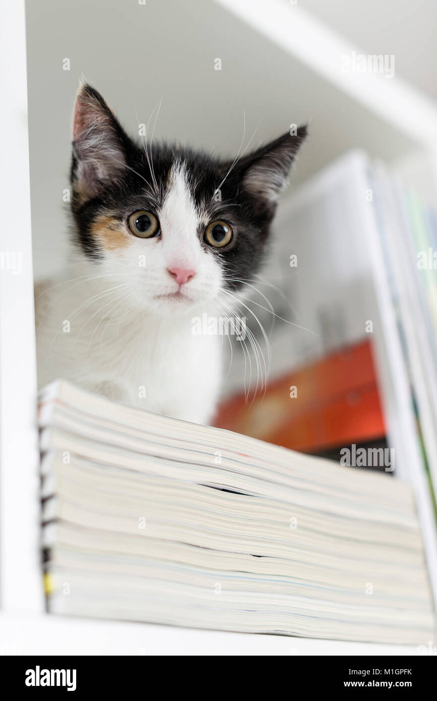 Domestic cat. Black-and-white kitten in a bookshelf. Germany. Restriction: Not for guidebooks for pet care until - Stock Image