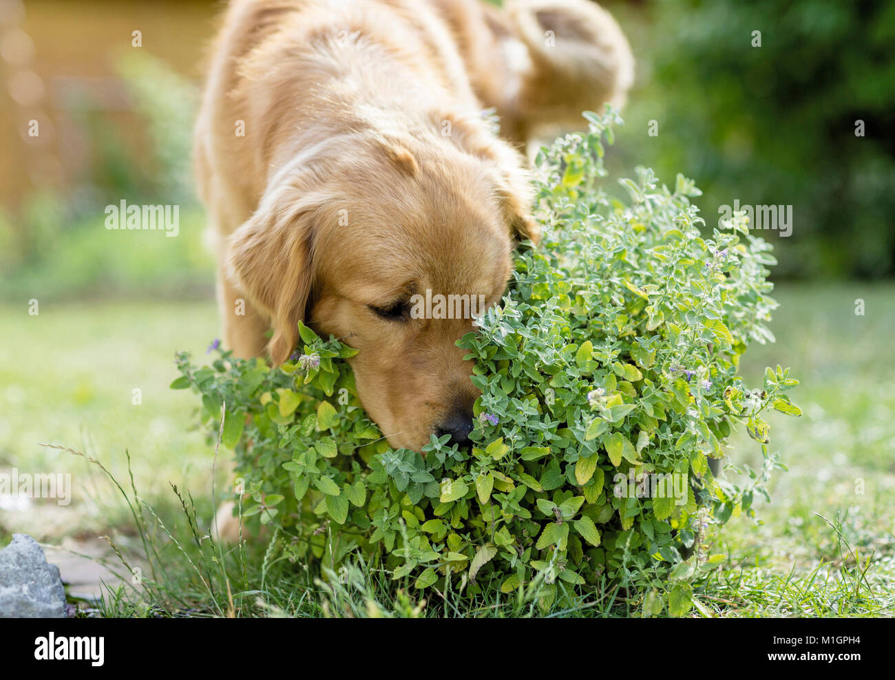 Golden Retriever. Adult dog sniffing on herbs. Germany. Restriction: Not for guide books for pet care until 9/2018 - Stock Image