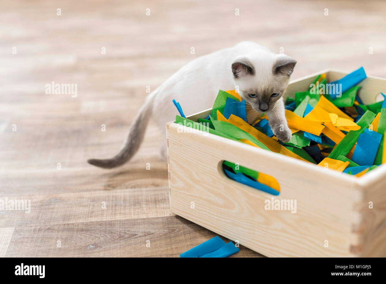 Siamese Cat. Kitten playing in a box filled with paper. Germany. Restriction: Not for guide books for pet care until - Stock Image