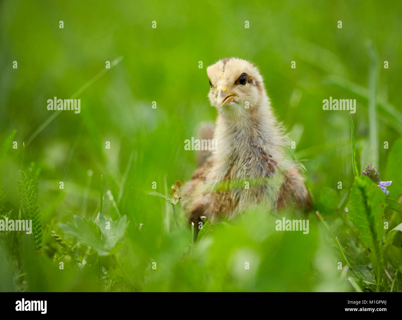 Welsummer Chicken. Chicken standing on a meadow. Germany - Stock Image