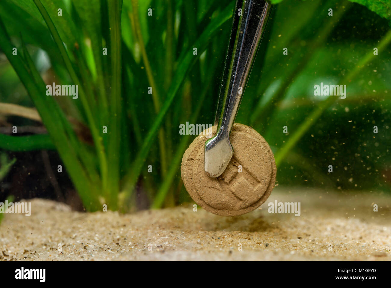 Fertiliser for aquatic plants being brought to a freshwater aquarium. Forceps with tab - Stock Image