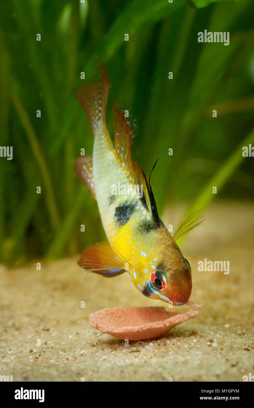 Ram Cichlid (Mikrogeophagus ramirezi) in an aquarium, nibbling on a tablet fish food - Stock Image