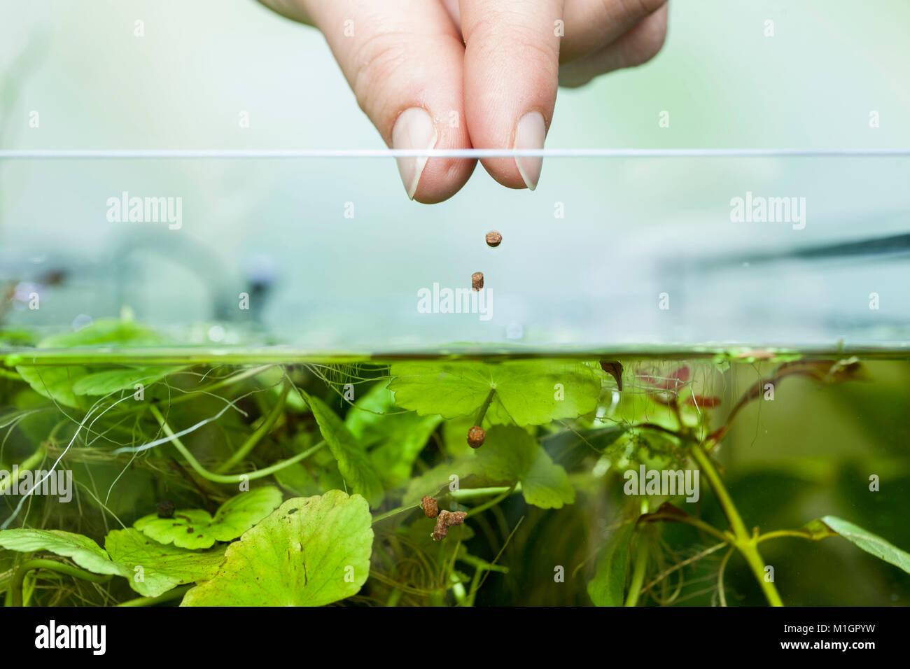 Feeding fish in a freshwater home aquarium . - Stock Image