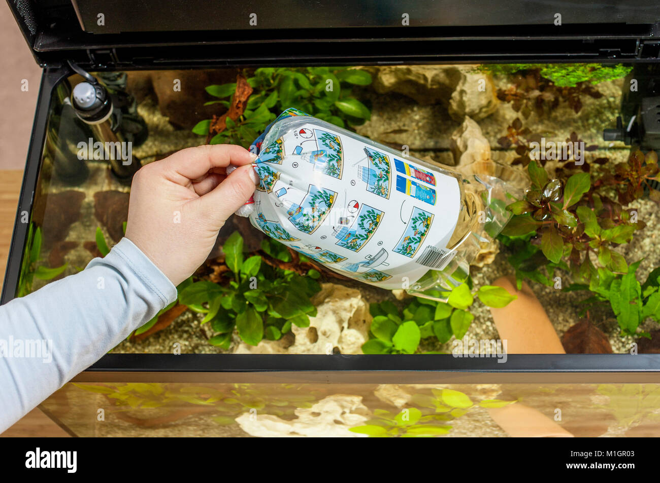 Introducing new fish into a freshwater aquarium: Hand lying bag with fish carefully on the surface of water, letting - Stock Image