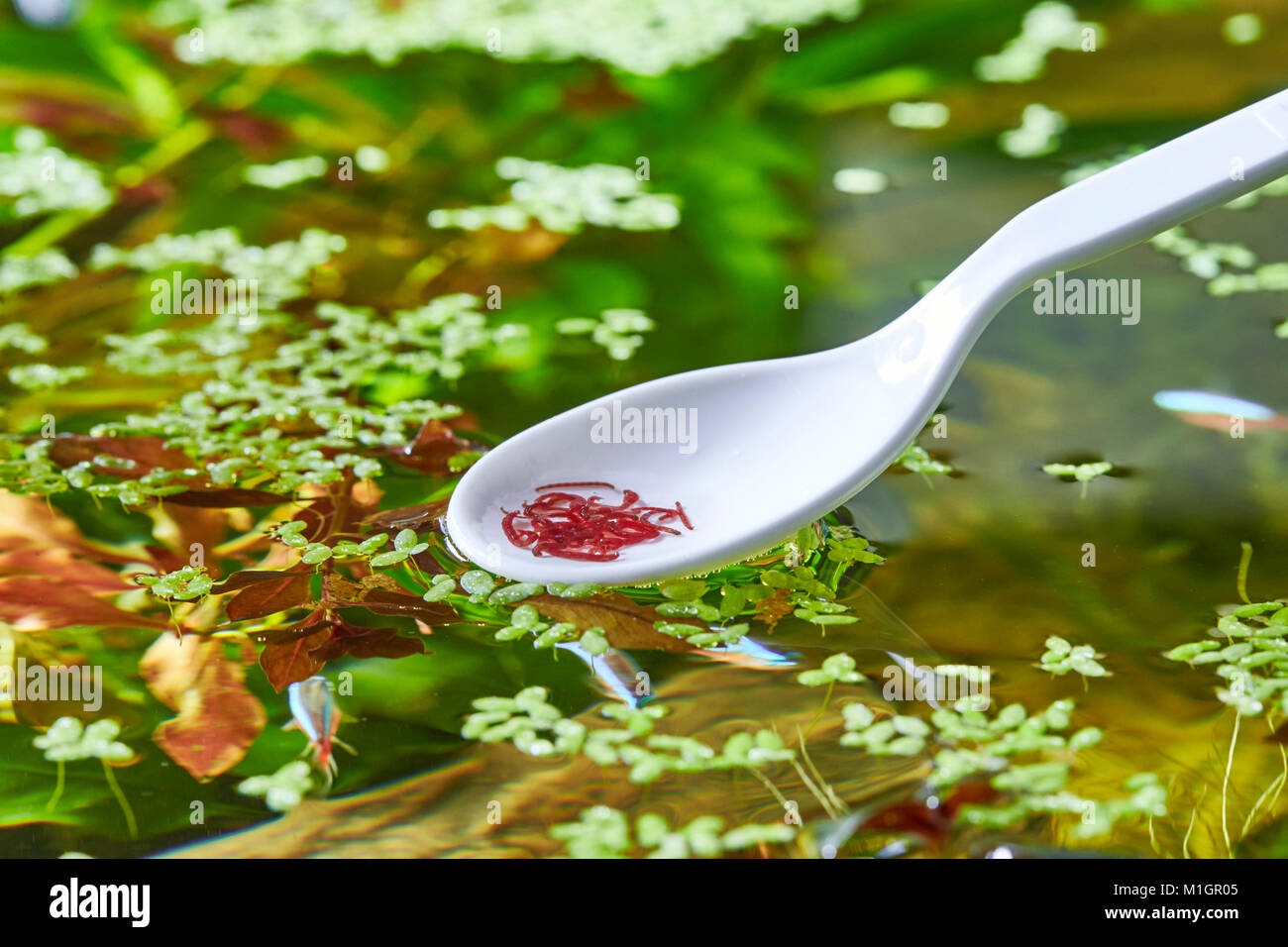 Bloodworms as fish food are given into an freshwater aquarium with the help of a spoon - Stock Image