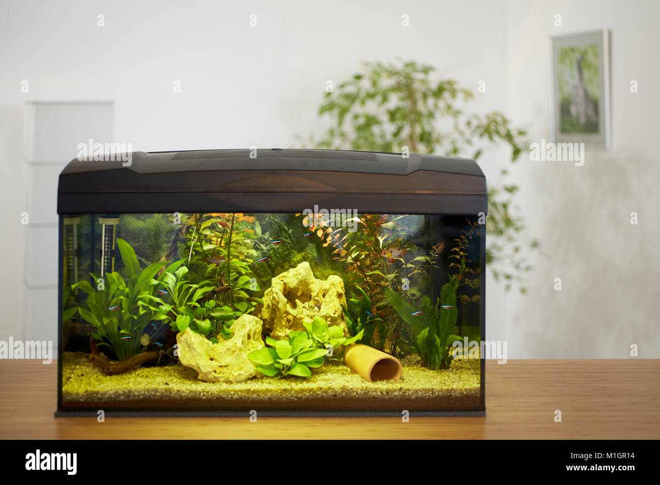 Tropical freshwater home aquarium. - Stock Image