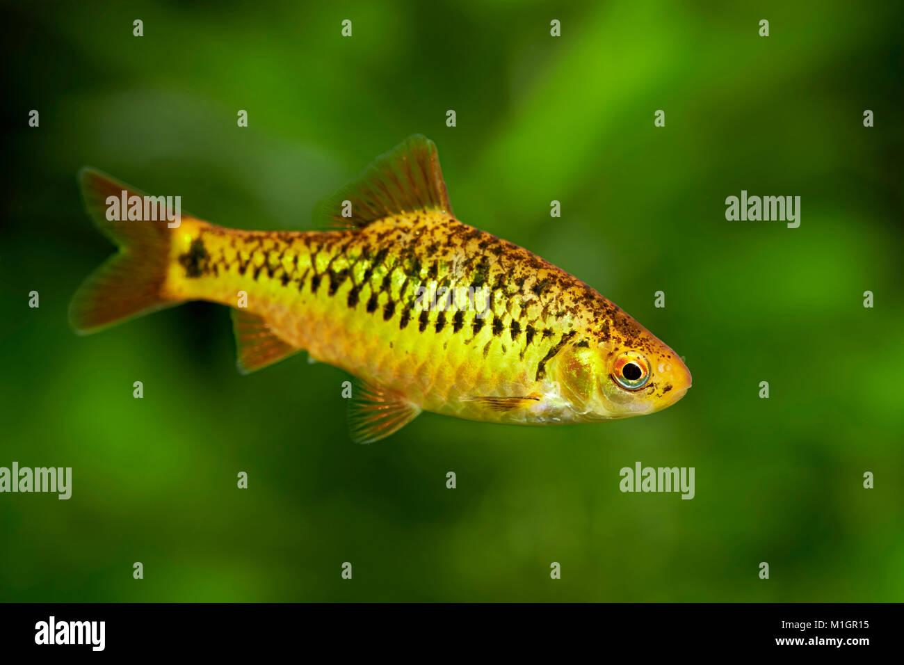 Chinese Barb (Barbodes semifasciolatus) in an aquarium . - Stock Image