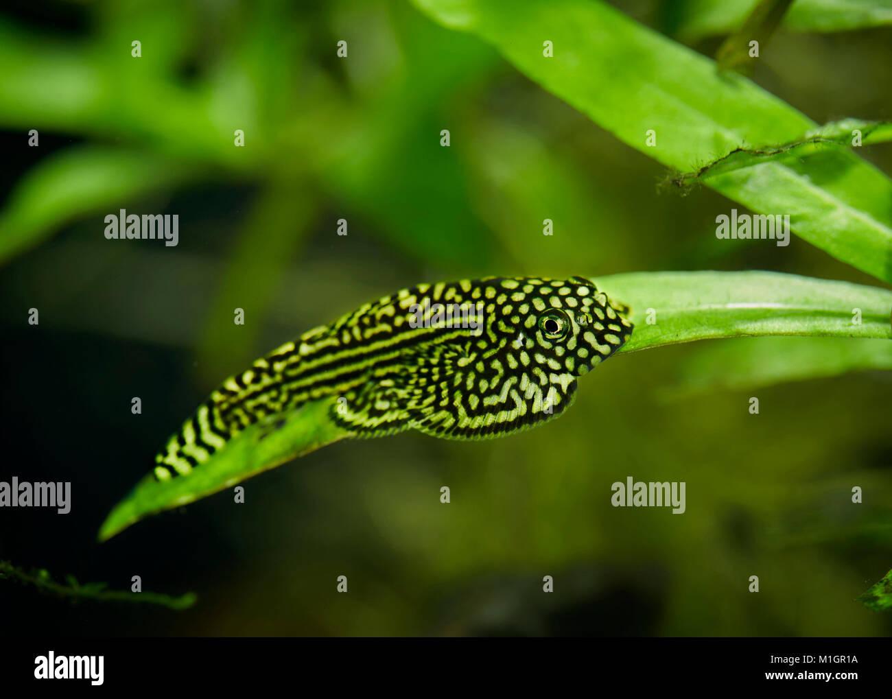 River Loach, Lizardfish (Balitoridae) in an aquarium . - Stock Image