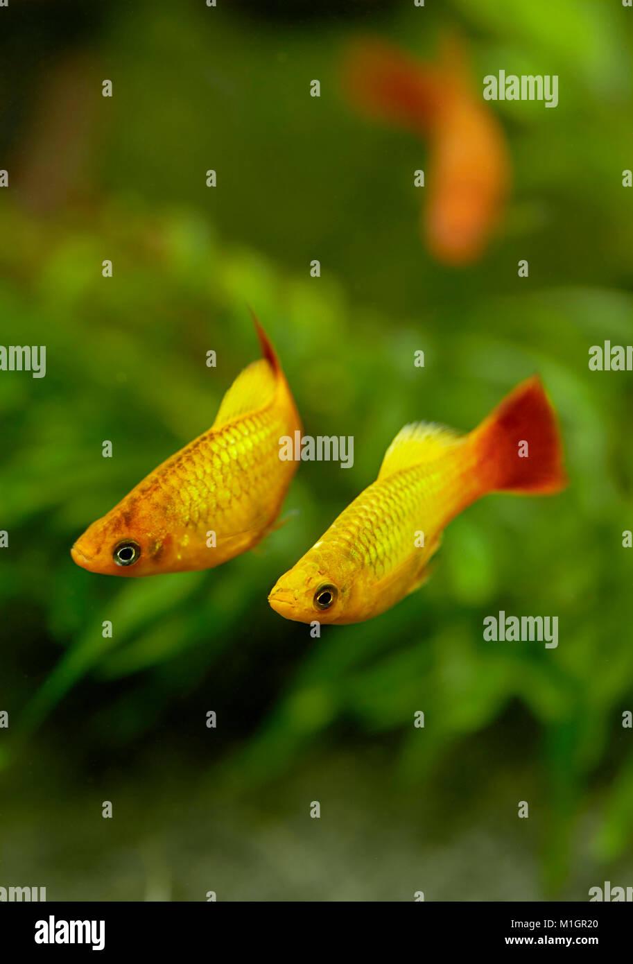 Common Platy (Xiphophorus maculatus). Displaying couple in an aquarium . Stock Photo