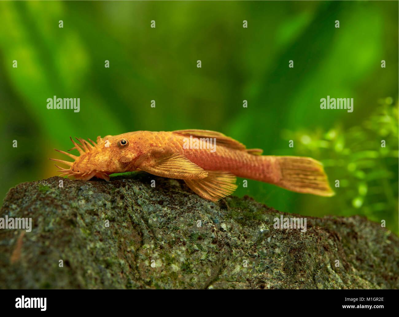 catfish auf deutsch