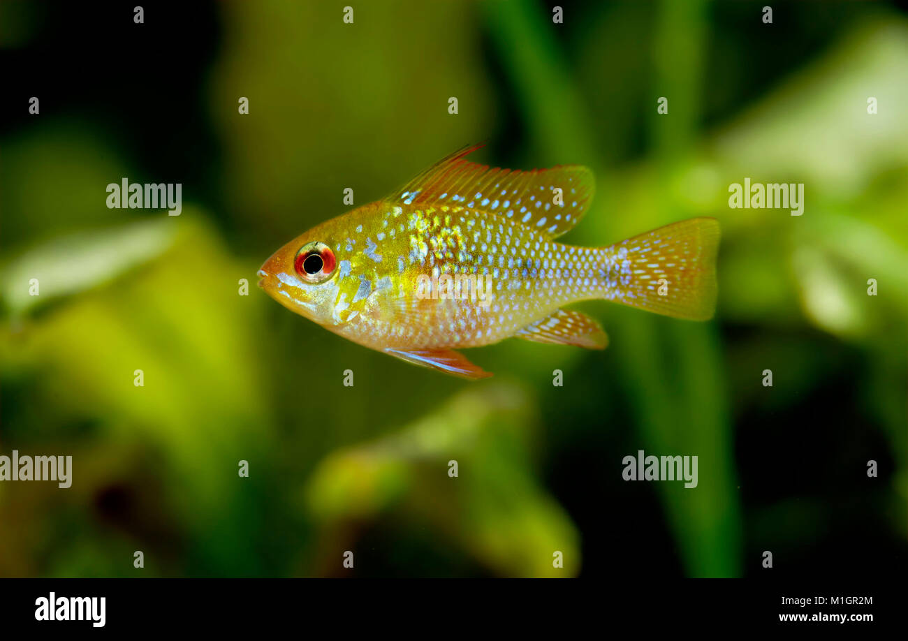 Ram Cichlid (Mikrogeophagus ramirezi) in an aquarium - Stock Image