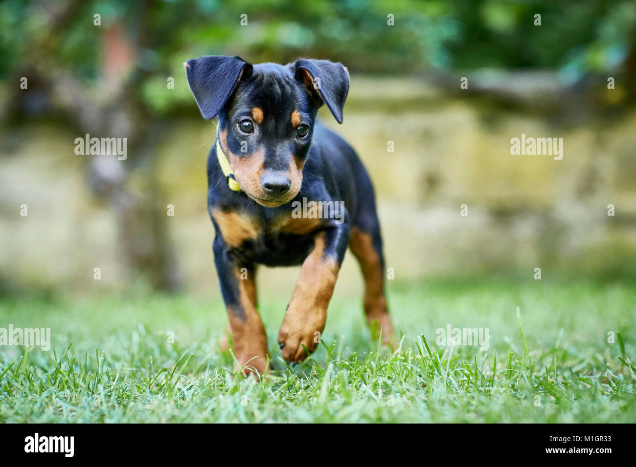 German Pinscher. Puppy walking on a lawn. Germany. - Stock Image