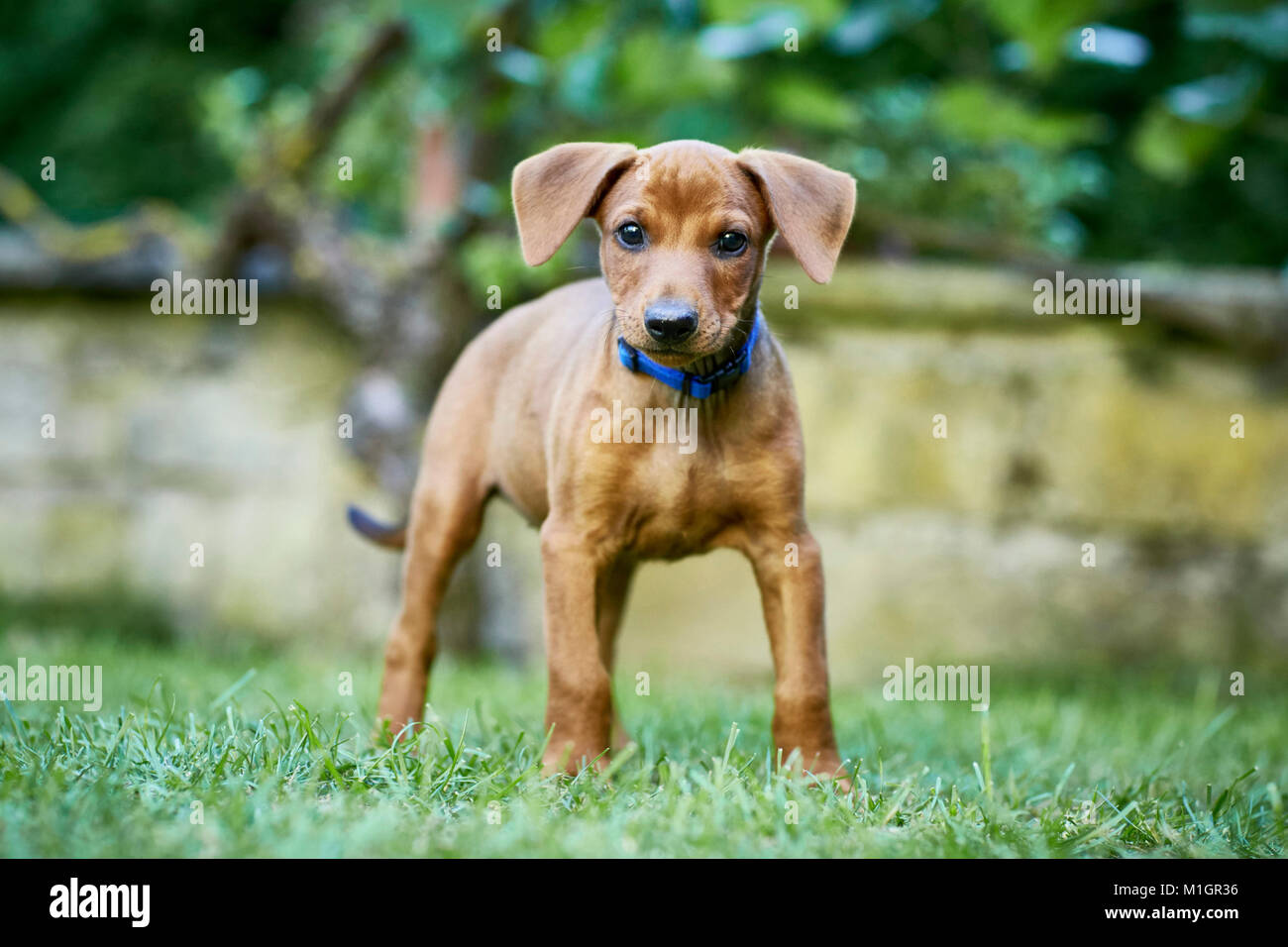 German Pinscher. Puppy standing on a lawn. Germany.. - Stock Image
